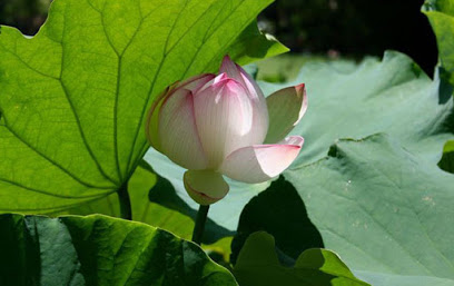 Water lily at the centre